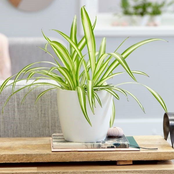 spider plant for decorating small apartments