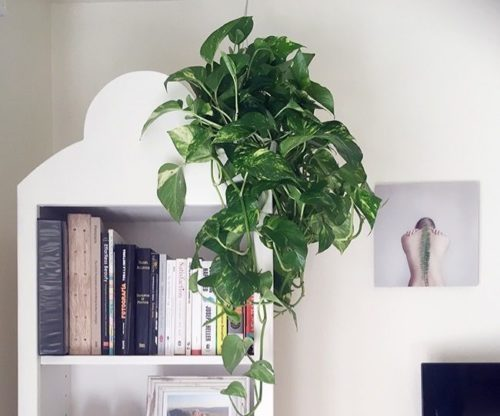 Pothos plant for decorating small paces