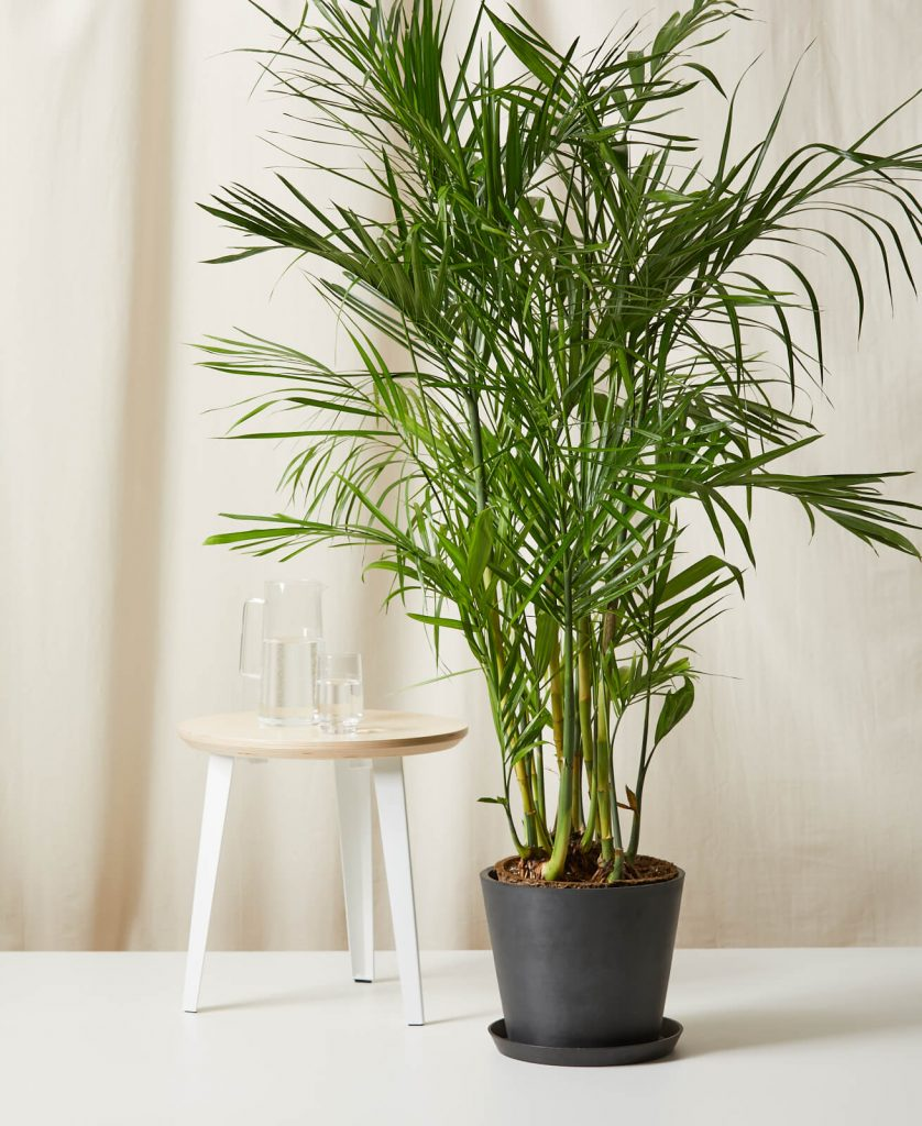 large bamboo indoor plant