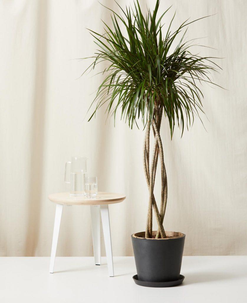 dracaena open weave large indoor plant