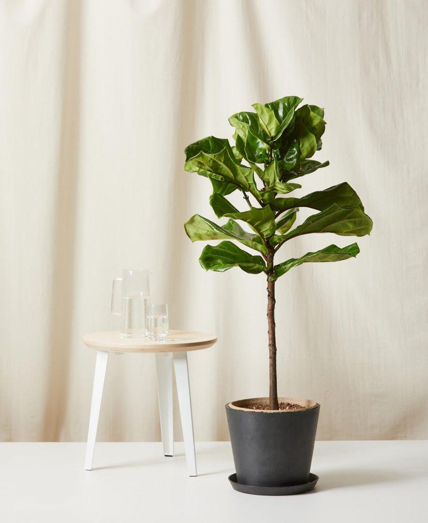 large fiddle leaf indoor plant