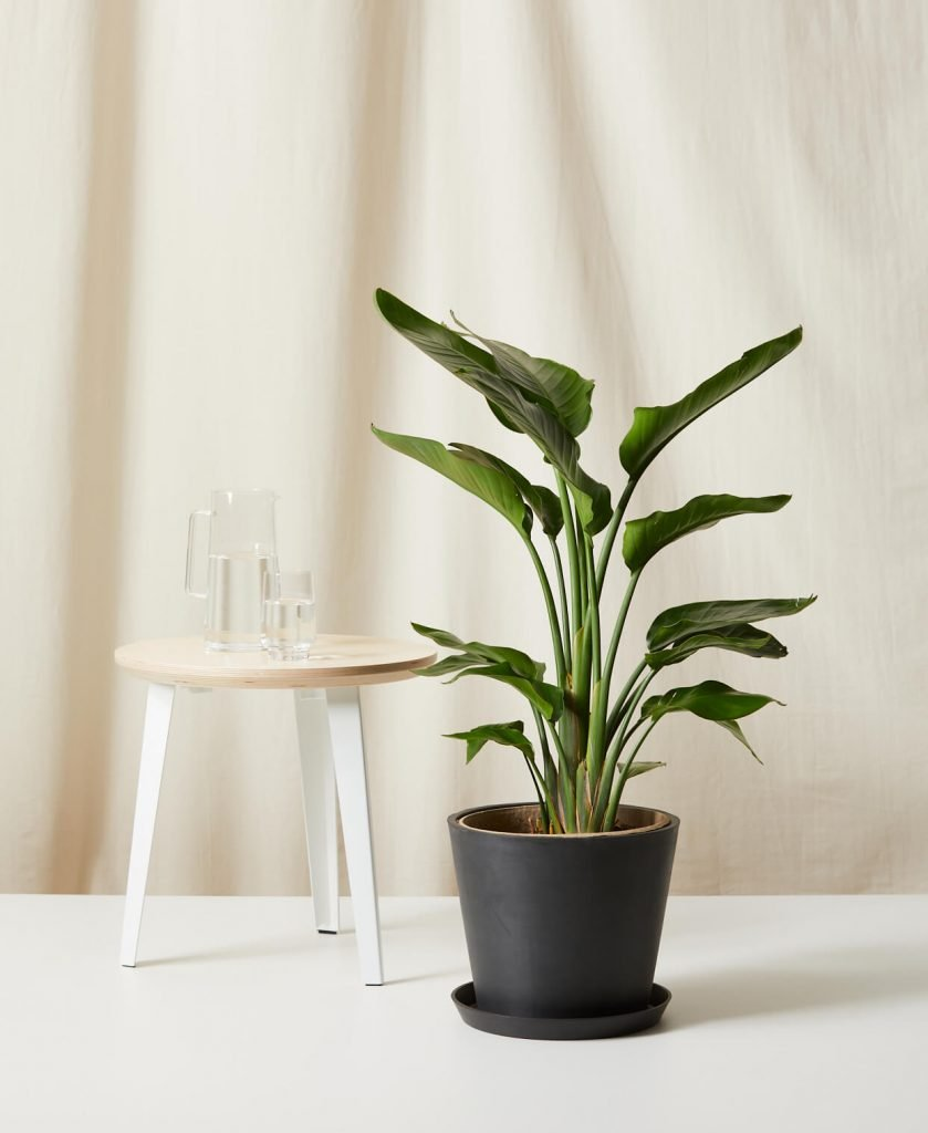 large birf of paradise indoor plant